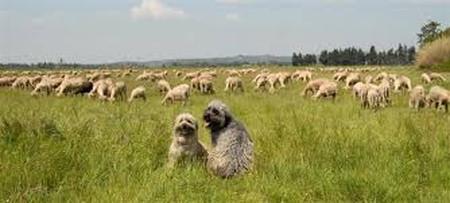 berger des pyrénées qui garde le troupeau