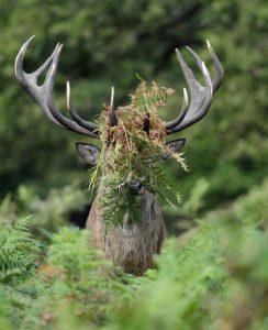 cerf la tête recouverte de feuilles et d'herbes