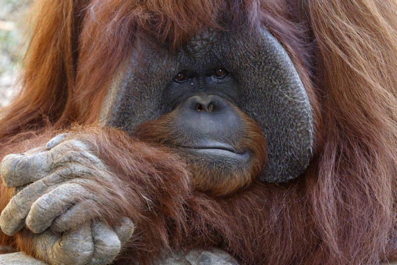 chantek orang-outan
