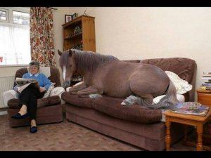 cheval couché sur le canapé de la maison