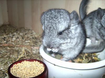chinchilla qui mange