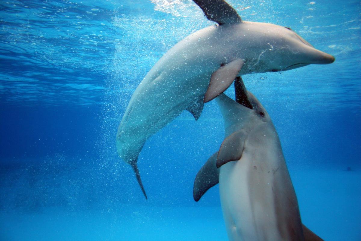 deux grands dauphins qui jouent