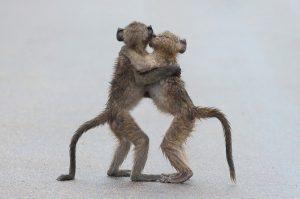 deux singes enlassés qui regardent dans le même direction
