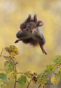 écureuil roux en plein saut dans les airs