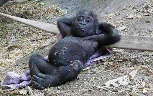 gorille allongé comme un homme