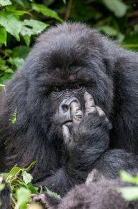 gorille qui se récure le nez avec son index