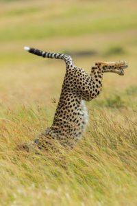 guépard qui se casse la figure