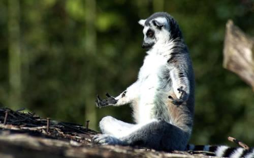 lémurien en position de yoga