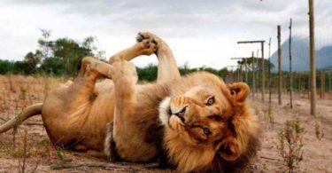lion allongé sur le dos les pattes en l'air