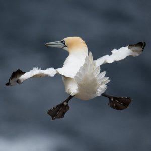 oiseau ailes et pattes écartées en plein vol