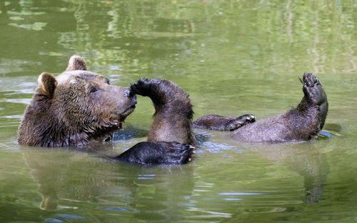 ours sur le dos dans l'eau