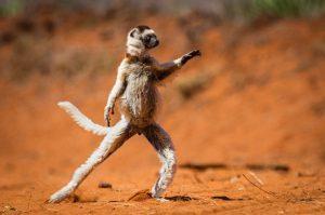 singe en position de danseur