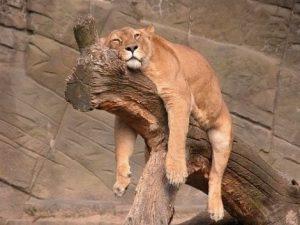 tigre sur un arbre les pattes dans le vide